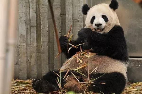 熊猫.jpg